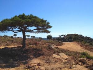 Black Pine at Perama Hill - Sept 2012 (Enhanced)