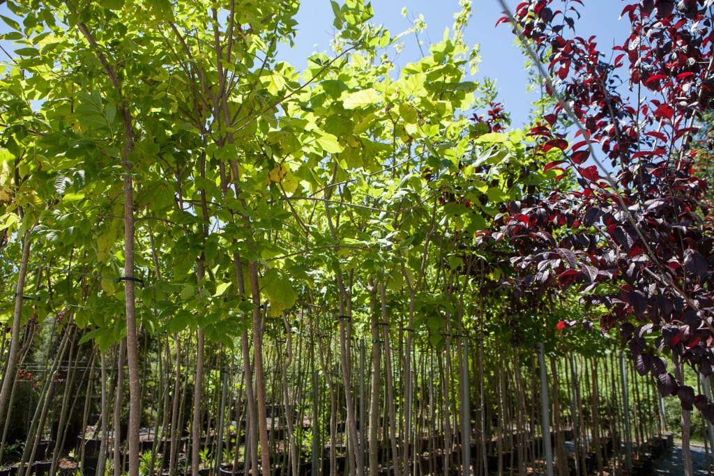 Saplings grow at Greek Nurseries