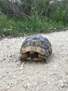 Tortoise at Eldorado Gold Mine